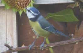 Blaumeise am Insektenhaus