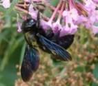 Blauschwarze Holzbiene