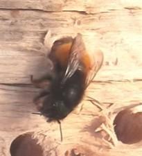 Gehörnte Mauerbiene-3