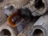 Gehörnte Mauerbiene im Anflug