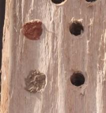 Gehörnte Mauerbienen Verschlüsse
