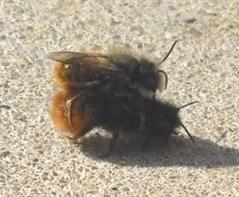 Gehörnte Mauerbienen beim Paaren