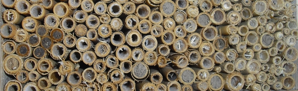 Halme als Niströhren für Wildbienen und Einsiedlerwespen