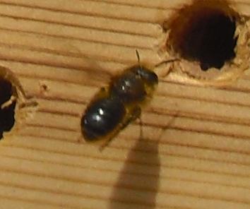 Holzbiene - Schwarze Mörtelbiene