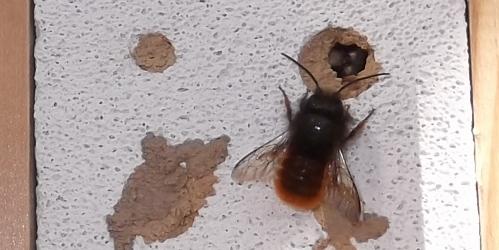 Männliche Mauerbiene am Insektenhaus