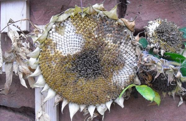 Naturschutz mit Sonnenblumen