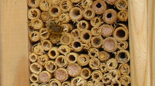 Rote Mauerbiene beim Nestbau