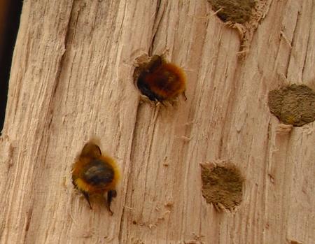 Unterschiedliche Färbung der Gehörnten Mauerbiene