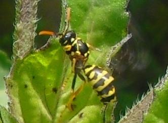 Was tun nach einem Wespenstich Behandlung