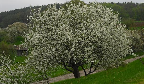 Wildbienenfutter Kirschbaum
